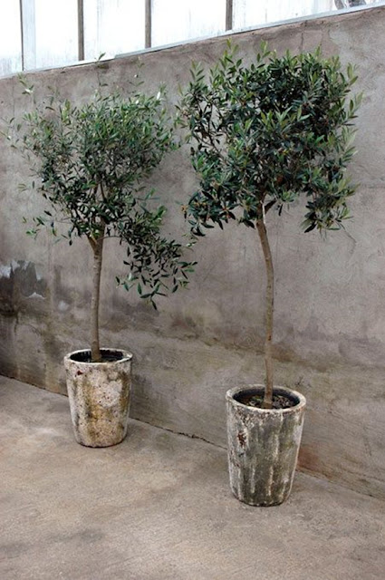 olive-trees-wedding-decor for indoor venue