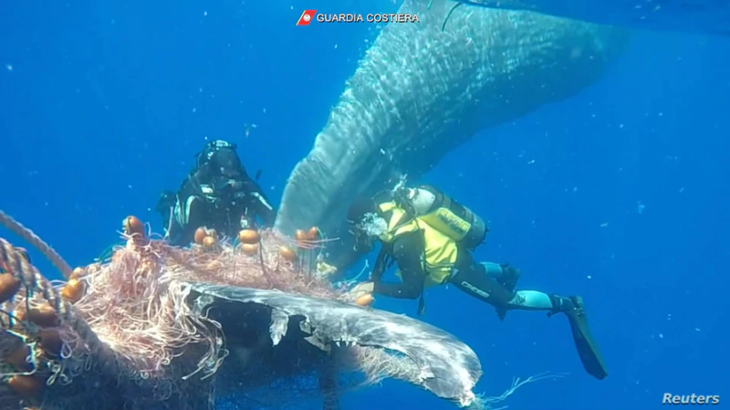 Baleia presa na rede de pesca
