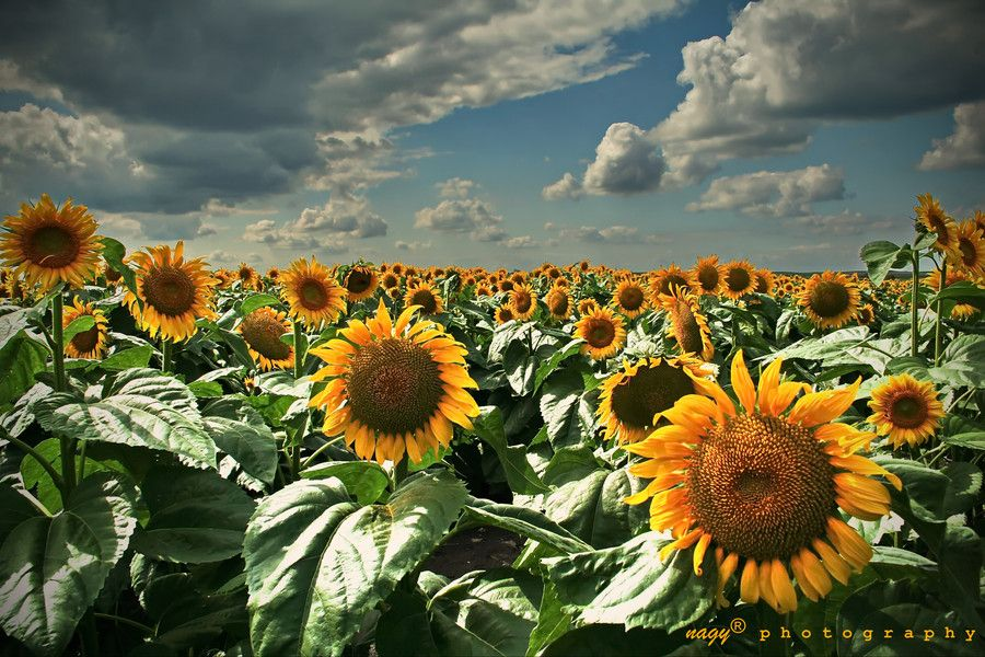 20. Sunflowers in Vojvodina by Robert Nagy