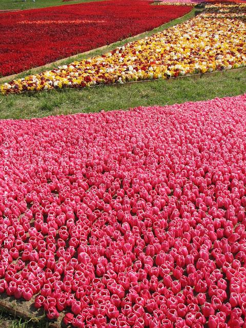 kompozycja tulipanyów na żuławskim Tulipanie w Mokrym Dworze
