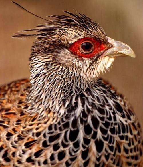 Indian birds - Cheer pheasant - Catreus wallichi