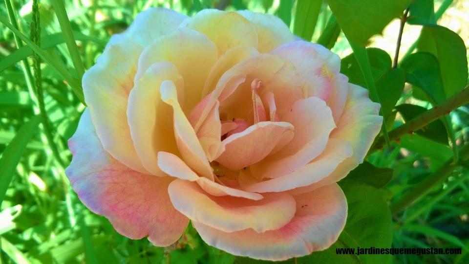 planta, rosal de flor naranja