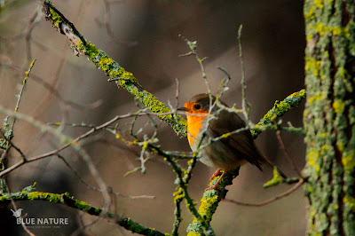 Petirrojo europeo - Eropean robin - Erithacur rubecula Poco a poco se empiezan a escuchar sus cantos y se dejan de ver muchos ejemplares mientras que en invierno había muchos más.
