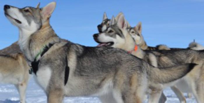 Rollo, Northern Inuit