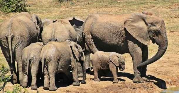 Benarkah gajah sama sekali tak bisa melompat? Kira-kira apa ya sebabnya?