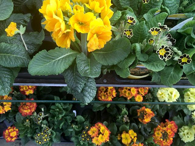 Coloured primroses