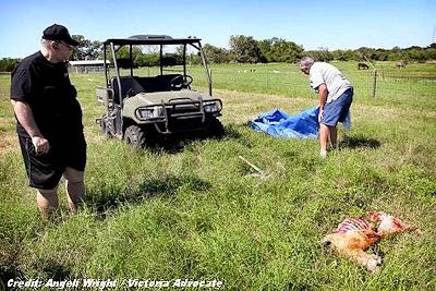 UFO Group Works with Sheriff's Department On  Sheep Mutilations (Oct 2013)