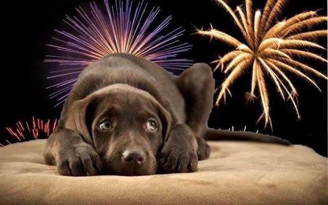Como proteger o seu cachorro dos fogos de artifício?
