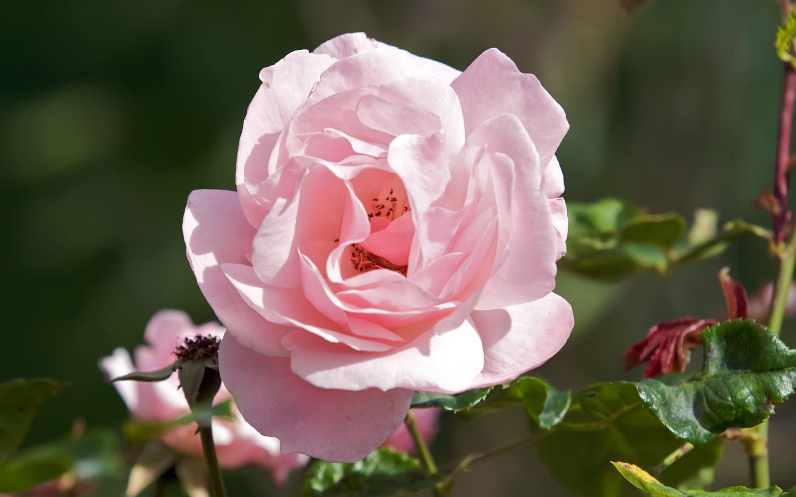Pink rose flowers flower hd wallpapers images pictures - Pink roses background hd ...