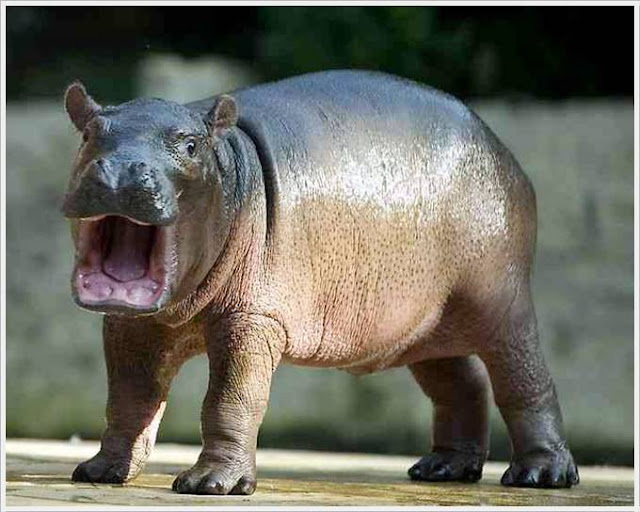 Cute Dolphin Wallpapers Cool Animals Pictures Baby Hippo Born In Berlin Zoo