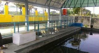Fakta Ikan Uceng (Nemacheilus Fasciatus)