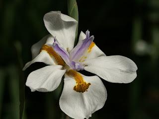 Diètes à grandes fleurs - Dietes grandiflora