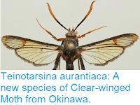 http://sciencythoughts.blogspot.co.uk/2016/03/teinotarsina-aurantiaca-new-species-of.html