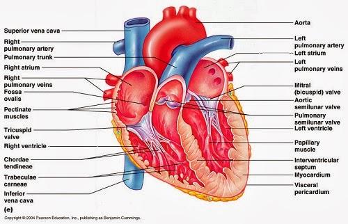 Letak Jantung dan Pembagian Ruang-Ruang Jantung