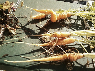 Premature carrot harvest