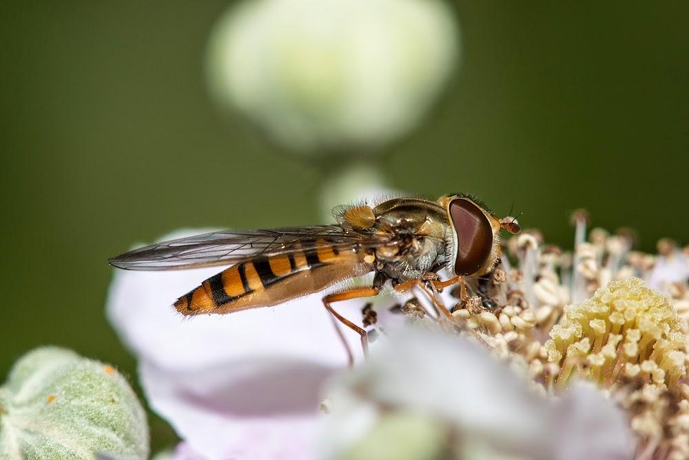 Hoverfly sp (I'll ID it later) - Lodge Lake, Milton Keynes