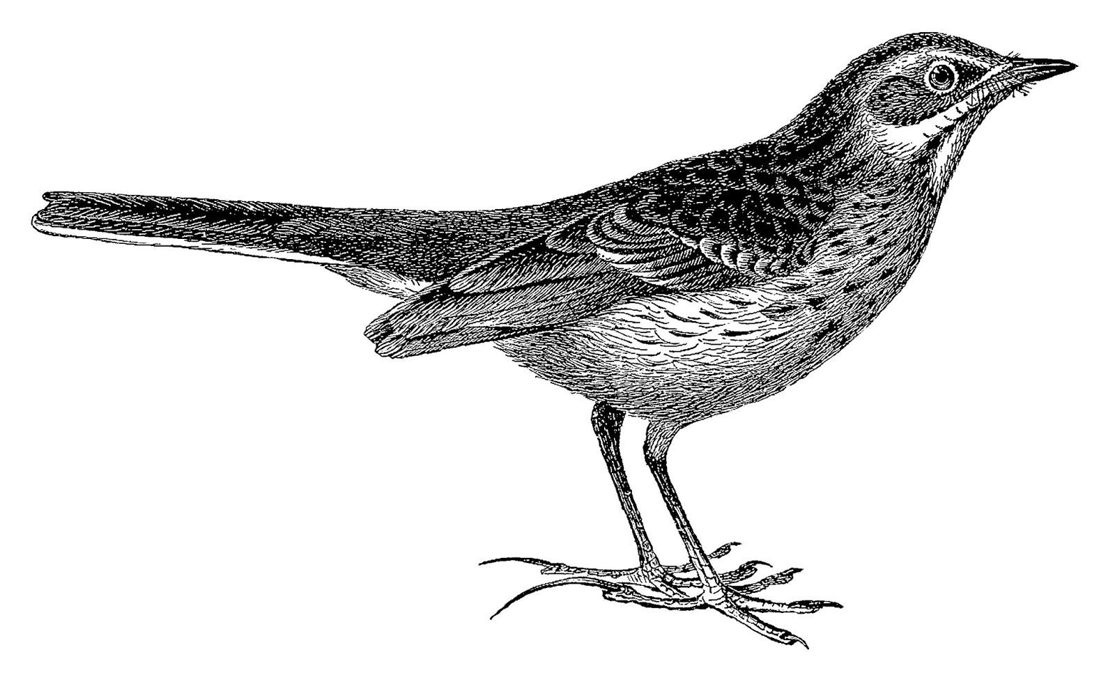 Digital Stamp Design Old Vintage Bird Artwork