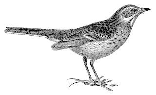 bird illustration artwork digital stamp clipart download