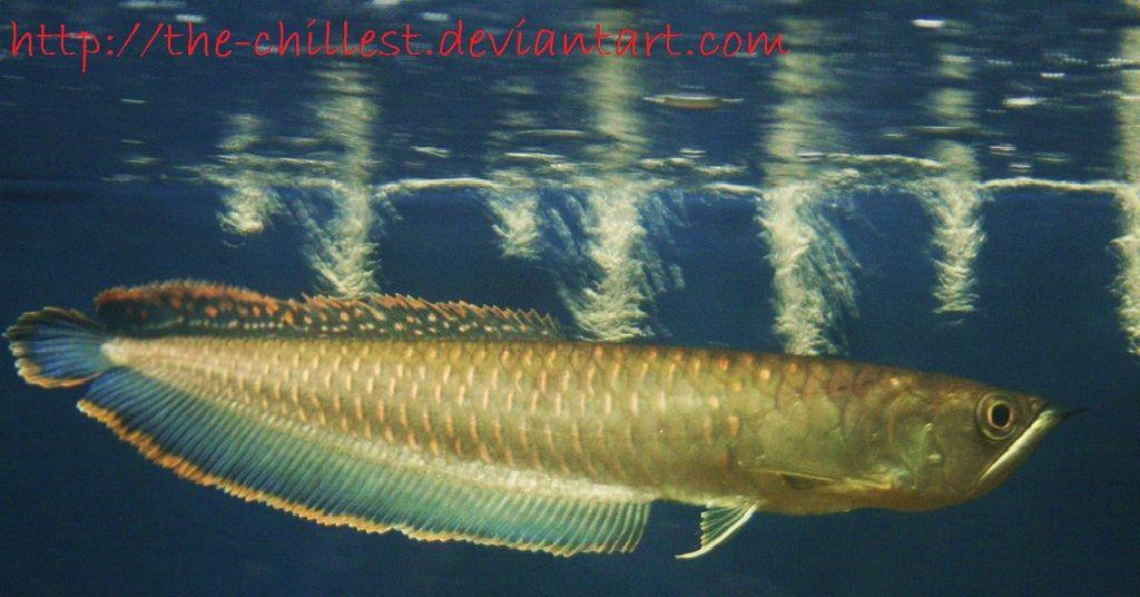Gambar, Foto Ikan Awana Black Brazil, Arwana Hitam Yang Mirip Dengan Silver
