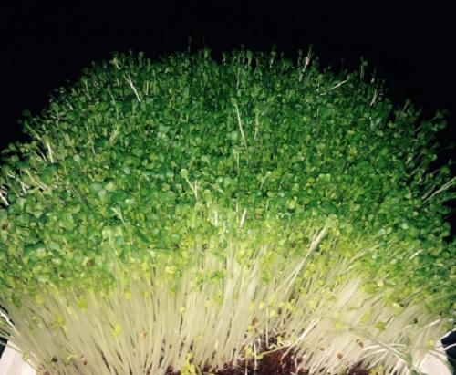 Rau-mầm-củ-cải-trắng