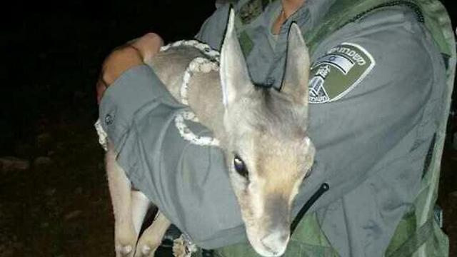 Cervatillo rescatado (Foto, portavoz de la policía)