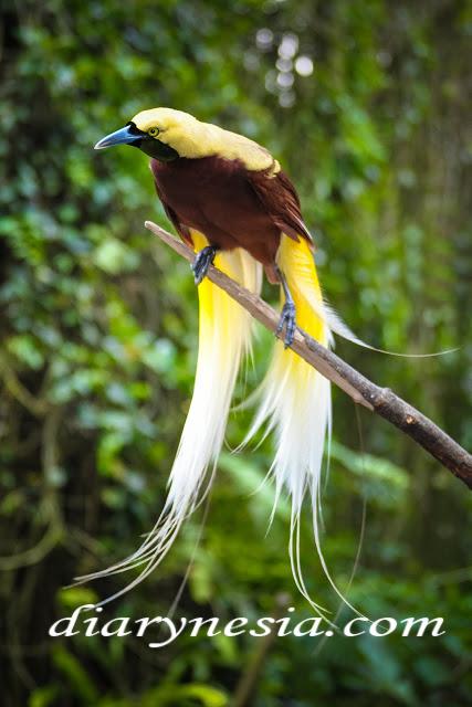 cenderawasih national park, cenderawasih native bird from West Papua, native animal from indonesia, diarynesia