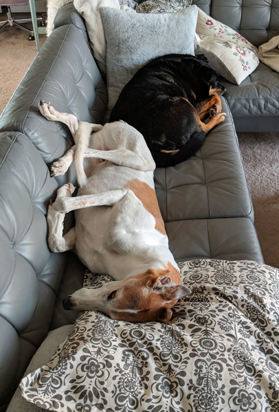 image of Dudley the Greyhound and Zelda the Black and Tan Mutt lying on the sofa, butt to butt, taking up the whole darn thing