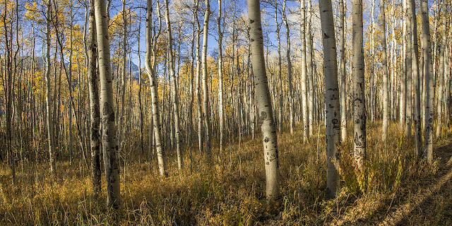Aspen forest panorama in the gore range colorado