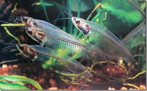 Cá Thủy Tinh: loài cá trong suốt như pha lê nuôi trong hồ thủy sinh