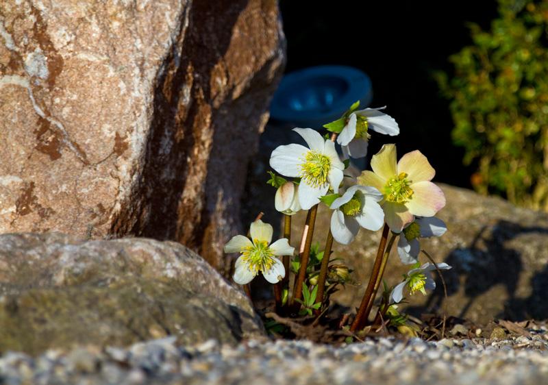 Christrosen wachsen gern in kalkhaltiger, durchlässiger Erde unter Gehölzen im Halbschatten oder in der Sonne
