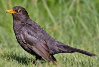 Burung anis gading.