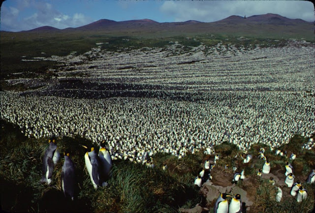 Largest king penguin colony has shrunk nearly 90 percent
