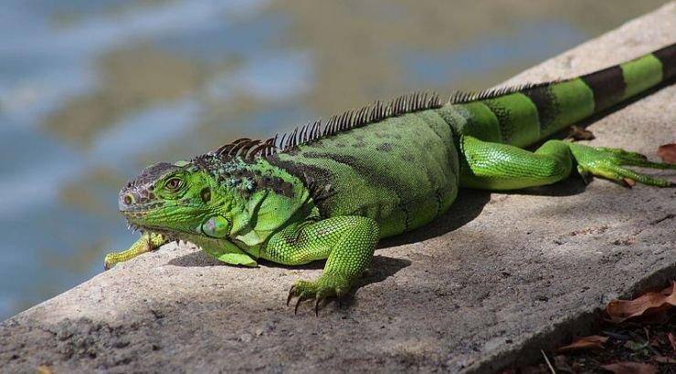 Florida Residents Were Advised to Kill Iguanas
