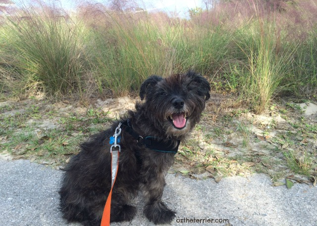 Oz the Terrier takes a break on the Little Talbot State Park bike trail in Jacksonville, Florida