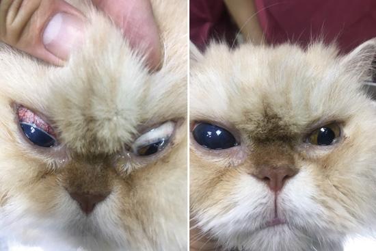 患有青光眼的貓咪,眼珠變得混濁、眼白有血絲,以及牛眼症。