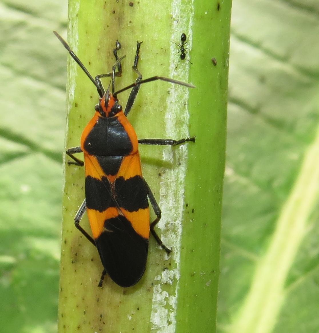 bug eric