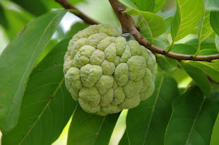 Amezing Health Benefits Of Custard Apple In Hindi
