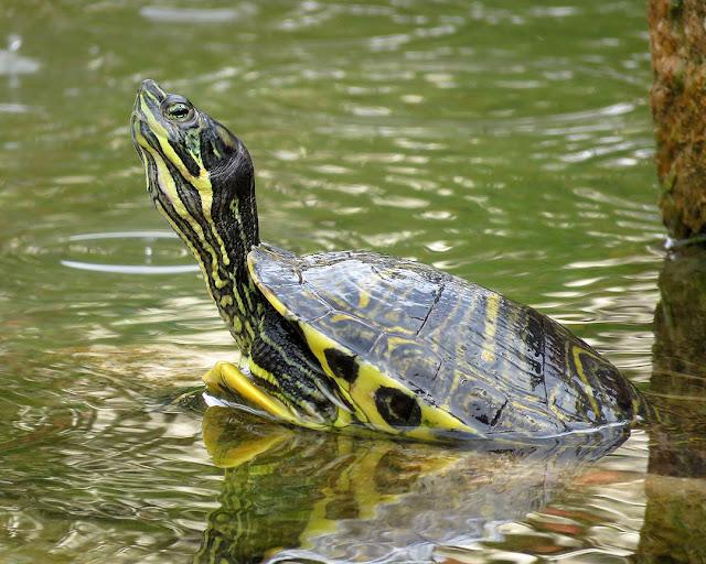 Turtle, Piazza Dante, Livorno