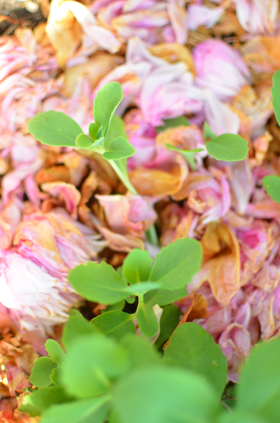 Peony Petals as Mulch by Amy Renea of A Nest for All Seasons, author of Crafting With Nature