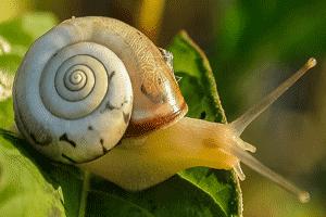 Caracol, ejemplo de molusco gasterópodo