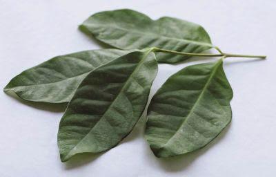 Siapa yg tidak dgn daun rempah ini 7 Manfaat Daun Salam untuk Kesehatan yg Perlu di Ketahui