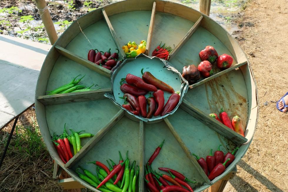 Variety of chili