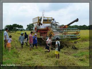 Reisfeldratten Thailand