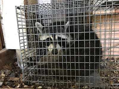 raccoon in a live trap