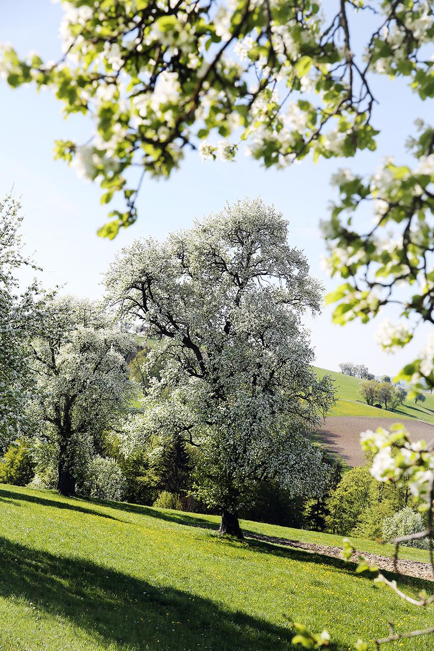 Traumhafte Aussichten zur Birnbaumblüte © Mostviertel Tourismus/weinfranz.at