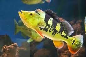 Dunia Ikan Hias - Peacock Bass