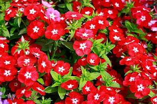 Imagenes de Amor, Flores Rojas, parte 2