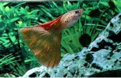 Cara Merawat Ikan Hias Guppy agar sehat
