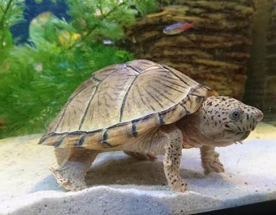 Bentuk fisik kura-kura Razorback
