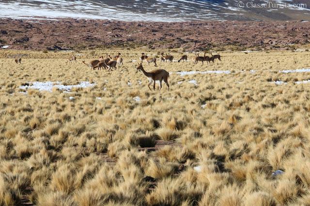 Animais na Ruta 23 - Lagunas Altiplanicas